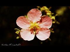 A handfull (Kirsten M Lentoft) Tags: pink flower garden photography passion bej mywinners anawesomeshot momse2600 theunforgettablepictures mandalalight kirstenmlentoft