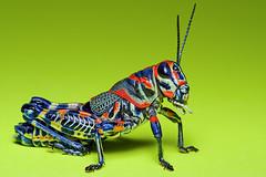 painted grasshopper (Mundo Poco) Tags: canon insect vivid grasshopper rebelxt eos350d sigma105mm paintedgrasshopper dactylotumbicolor mywinners platinumphoto ultimateshot ahqmacro damniwishidtakenthat rainbowgrasshopper barberpolegrasshopper picturedgrasshoper
