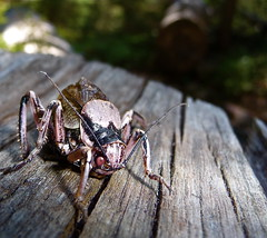 Bug - Mountain Lakes Trail, Mountain Lakes Wilderness, Oregon (ex_magician) Tags: pictures macro oregon bug cicada insect lumix photo interesting photos picture images troopers panasonic macros junebug dsc lakeofthewoods starship moik creepycrawler trailrun trailrunning mountainlakeswilderness lumixaward tz5 dmctz5 mountainlakestrail dsctz5