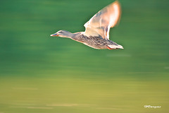 "Duck_42 (HVargas) Tags: slr bird beautiful wonderful sadness stand gorgeous ef50mmf14 sos lover canoneos republicadominicana smörgåsbord canoneos5d liebre ef100400mml duckmallard ef100400mm ef135mm efs1755mm canonrebelxti ef300mm ef180mm ef135 platinumphoto lifebeautiful digitaleeanalogico ef14x goldenphotographer canoneos40d canon40d ef400mm ef300 wonderfulworldmix kuwaitartphoto goldstaraward excapturemacro macro40d ef180mmf35lmacrousm ef28300mm ef1755mm ef3000mm ef283000mm spiritofphotography ""ourmasterpieces ef400mmf28l efmacro180mm ef28300mml macroef180mml macroefs60mmf28 canonef28300mml"