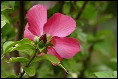 A nice Memory (Kirsten M Lentoft) Tags: pink flower tivoli sweetdreams blueribbonwinner firstquality supershot momse2600 goodnightdearest mmmuaahhhhhhh mmmmuahhhback illbeawayfromthursdayagain backonsundayevening kirstenmlentoft
