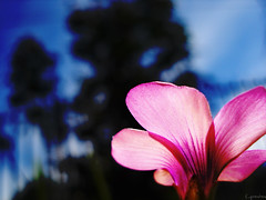 Flickr Flower (f. prestes) Tags: pink blue sky flower nature flickr pinkandblue pinkblue flickrcolors wonderfulworldofflowers flickrlovers coresdoflickr