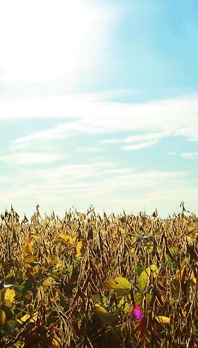 passing soybean fields