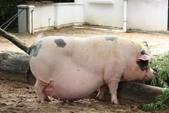 Fat pig (look at her face!) (air maxx) Tags: china desktop wallpaper hk japan pig farm hong kong fans flickrsbestcreatures