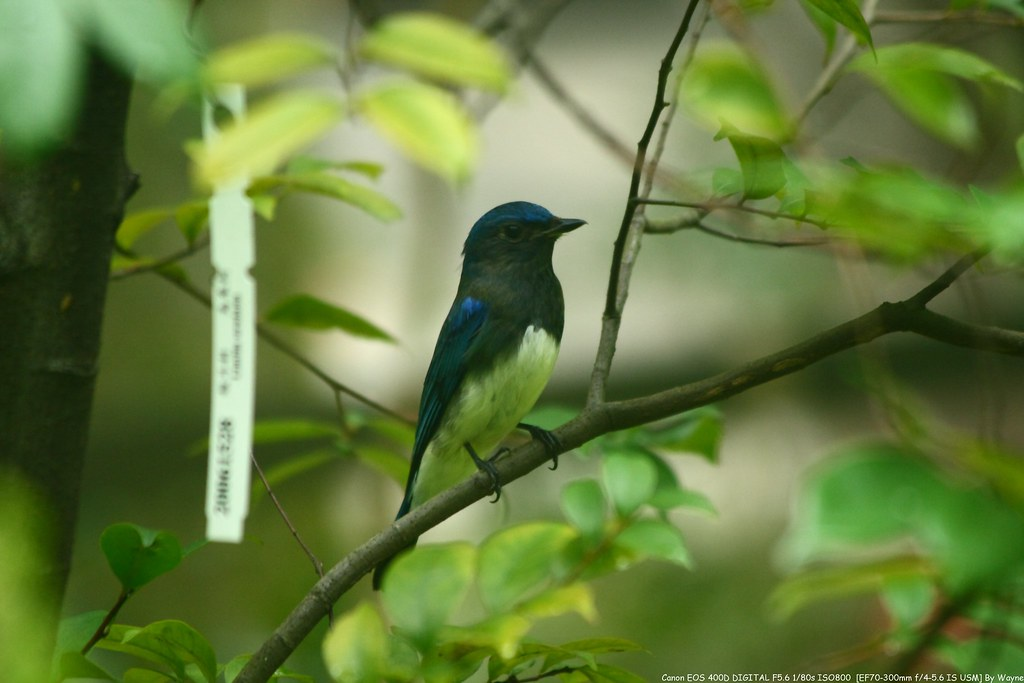 白腹琉璃 Blue-and-white Flycatcher ♂ - IMG_0678