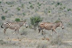 al pascolo (francyy83) Tags: erba prato nero marrone secco savana camminare zebre