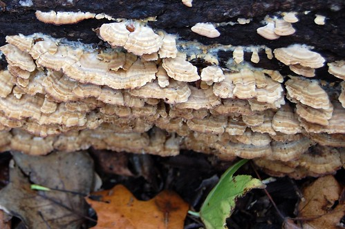 more shelf fungus