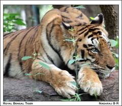 Royal Bengal Tiger (Nagaraj B R) Tags: wild india animals canon tiger royal sigma safari bannerghatta bengal 70300 450d