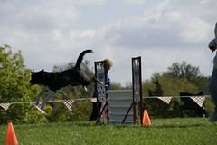 Check out the length of stride - Part 3 (Picture Spot) Tags: dog dogs flying jumping collie action border canine national agility farms k9 specialty purina bcsa