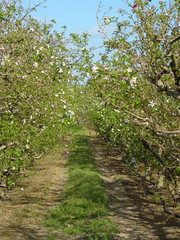 Elgin Apple Orchard