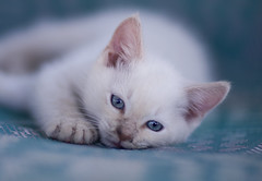 Ocean Blue (Domain Barnyard) Tags: pet white cute beautiful cat kitten kat feline dof lasvegas sweet blueeyes nevada small young kitty 2008 f12 tingey domainbarnyard canoneos40d