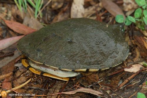 Eastern long-necked turtle (Chelodina longicollis)