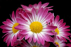 Pretty in Pink (neonfish3) Tags: park pink flowers white yellow hero winner mitchell domes chrysanthemum mitchellparkdomes thechallengegame challengegamewinner thechallengefactory herowinner