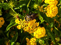 A Bee On Gold Lantanas