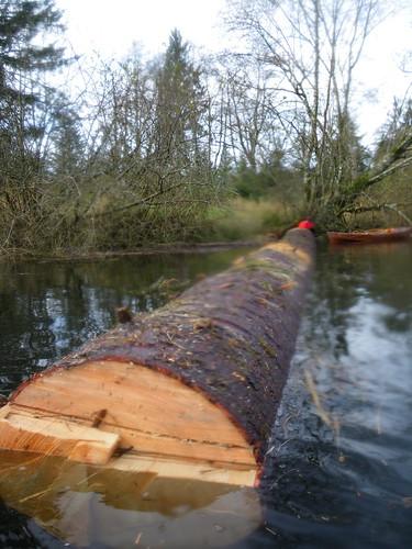 long spruce log