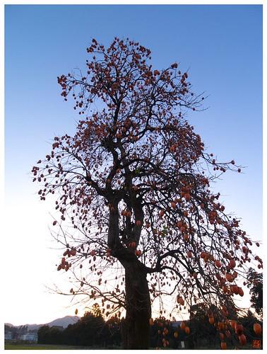 Persimmon tree 081202 #04