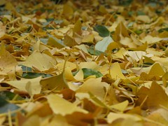 alfombra (Micheo) Tags: autumn fall alfombra yellow carpet explore amarillo otoo gingko bryanadams universidaddegranada moqueta jardinbotnico micheo emfoster