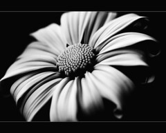 let's craft the only thing we know into surprise (linh.ngan) Tags: bw flower macro nature closeup missing dof searchthebest here zen simplicity daisy balance snowpatrol salazar impressedbeauty goldstaraward vietbestphoto