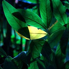Green 'n Yellow (fs999) Tags: pentax elite sensational aficionados tamron90 vob digitalcameraclub supershot sp90 5photosaday flickrsbest bej photographyrocks abigfave avision impressedbeauty skytheme ultimateshot k20d colourlicious flickrphotoaward theunforgettablepictures brilliant~eye~jewel elitephotography ashotadayorso justpentax goldstaraward excapturemacro club16 tamronsp90mmf28dimacro pentaxk20d spiritofphotography topqualityimage flickrlovers topqualityimageonly colouratart fs999 goldenmasterpiece hairygitselite blueribbonbanned