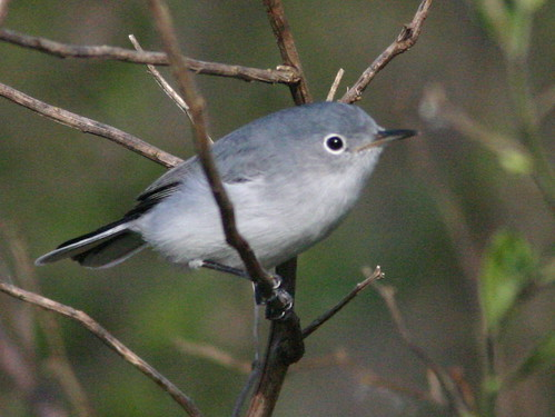 Blue-gray Gnatcatcher 20081226
