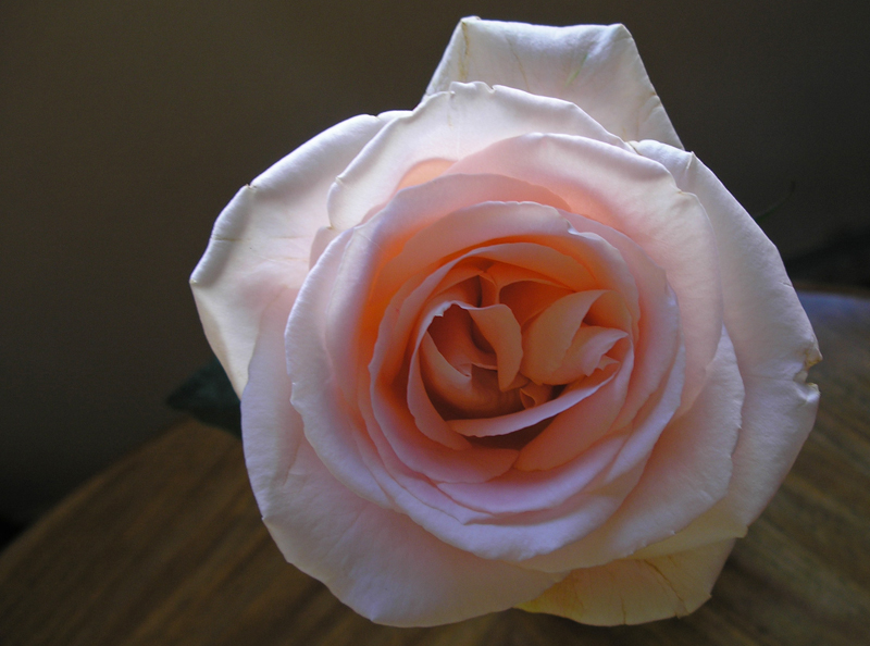 Study 2: Peach Rose