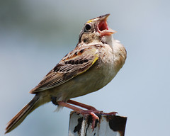 Grasshopper Sparrow (*Cristiana*) Tags: birds nikon indiana sparrow birdwatcher grasshoppersparrow birdssinging mywinners platinumphoto thewonderfulworldofbirds slbsinging magicunicornverybest magicunicornmasterpiece