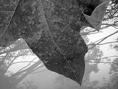 Brachychiton in B&W (YAZMDG (16,000 images)) Tags: bw black leaves sepia dark studio leaf lowlight noir gloomy y noiretblanc tint nb sombre nsw ambient blackout yaz obscure obscur melancholic absence shadowy melancholie brachychitonacerifolius lacunae rainbowregion lacune nswrfp yazminamicheledegaye northernriversspecies yazmdg geenengerry obscuritee
