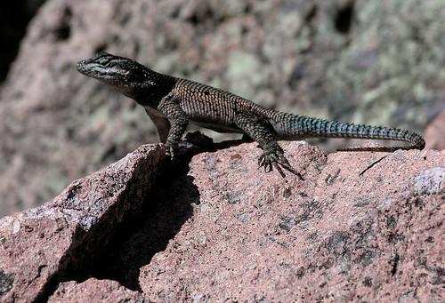Yarrow's Spiny Lizard (Sceloporus jarrovii) - Lagartija; Parque Nacional Cascadas de Basaseachic, Sierra Tarahumara, Chihuahua, Mexico
