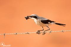 (Faisal Alzeer) Tags: bird birds arabia faisal saudia        nikkor300mm    fnz    alzeer nikond300s abonasser  300