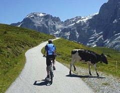 Mooove please (will_cyclist) Tags: switzerland cows grindelwald cal12 cowsx