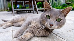 Backyard Visitor (Matt Tiegs) Tags: baby ontario canada cat grey backyard nikon kitten gray hamilton tokina hfg 1116 d300s
