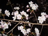 cherry blossoms_3
