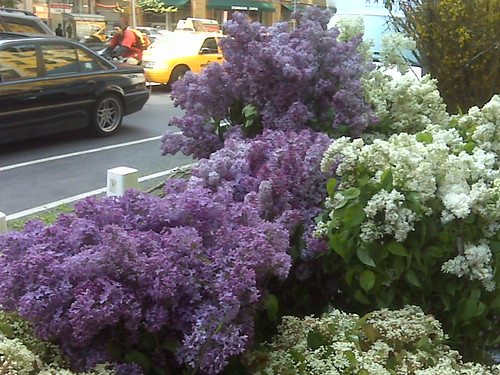 Lilac season at the Chelsea flower market