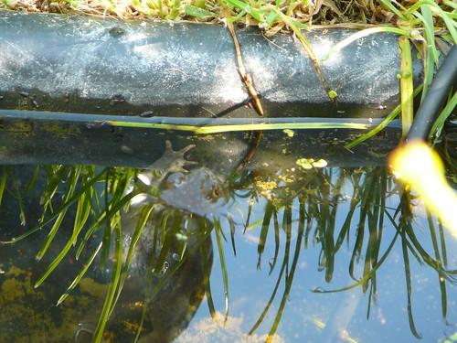 Erdkröte im Gartenteich (03)