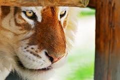 A tiger's face