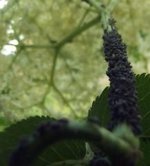 Anglų lietuvių žodynas. Žodis plant-louse reiškia n zool. amaras lietuviškai.