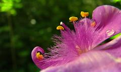 Spiderwort pink