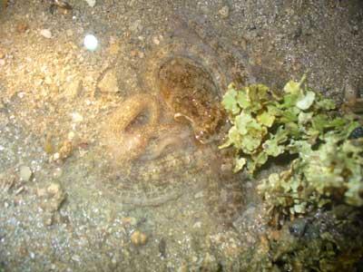 Octopus-Order Octopoda (Kusu)