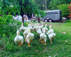 Dinner! (LisaNH) Tags: duckling ducks pekin myeverydaylife featherfriday