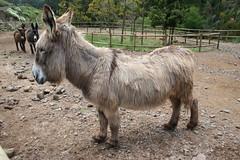 Branca, de spaanse ezel