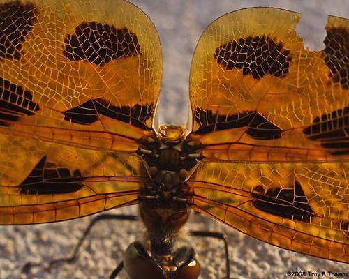 InjuredDragonfly2