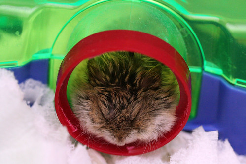 Shelter Hammie is Tuckered by Miss Shari.