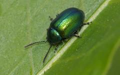 Gastrophysa viridula (male) (Jonathan (chirpy)) Tags: macro nature insect reading pentax wildlife beetle sigma berkshire 180mm dintonpastures k20d
