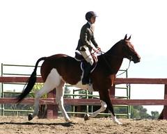 Paint Jumper (Just chaos) Tags: from horse view you photos or everyone ungulate animalia mammalia equus domesticated equidae equuscaballus chordata perissodactyla oddtoed oddtoedungulate caballusx
