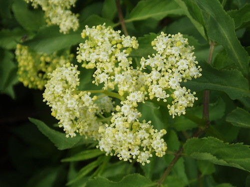 Alpine Elderberry
