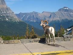 Big-horned sheep at Logans Pass