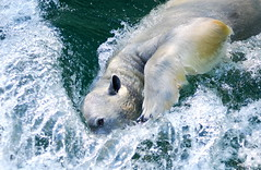 Pola bear (floridapfe) Tags: bear water animal swim zoo south korea polarbear splash pola everland  aplusphoto theunforgettablepictures