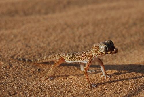 stenodactylus_sthenodactylus