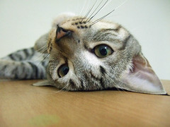 Lazy Pawpaw (Chrischang) Tags: pet animal cat 貓 pawpaw theperfectphotographer 20080712