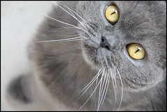 Jamie, our cat (Natasja ) Tags: pet cats pets house home animal animals cat canon jamie shorthair british britishshorthair britishblue ourfriend ourcat canonefs1785mmf456isusm 40d bestofcats canoneos40d boc0708
